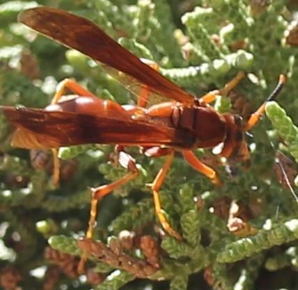 Polistes - Polistes kaibabensis - female
