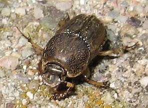 Oak Beetle - Euoniticellus intermedius