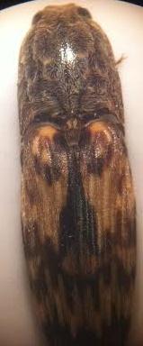 Click Beetle? - Pherhimius fascicularis