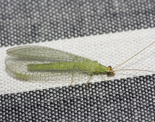 Golden-eyed Lacewing - Chrysopa oculata