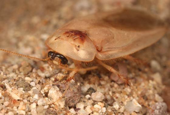 farmapest kalorifer böceği resimleri ile ilgili görsel sonucu