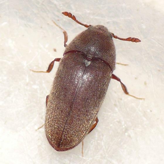 Wood beetles pictures