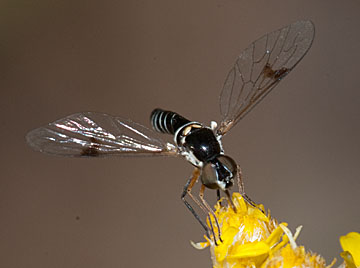 Amphicosmus arizonicus