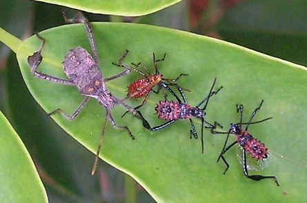 What type of Coreidae are these?--possibly Leptoglossus zonatus - Leptoglossus zonatus