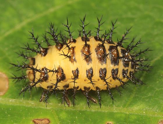Mexican Bean Beetle  - Epilachna varivestis