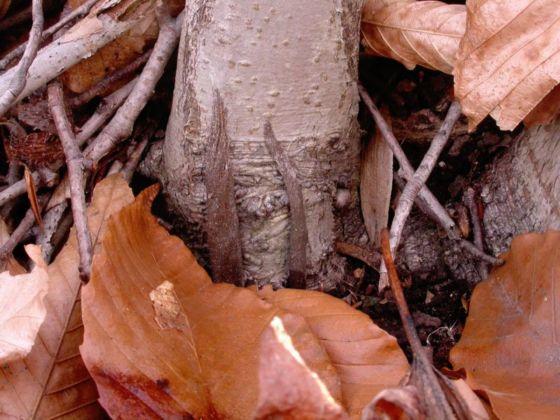 Two pursewebs at base of small beech tree - Atypus snetsingeri