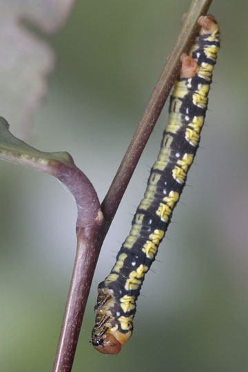 Life cycle of a White-tipped Black: fifth instar - Melanchroia chephise