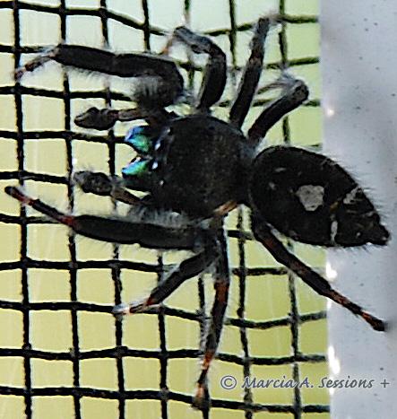 Bold Jumping Spider - Phidippus audax - Phidippus audax