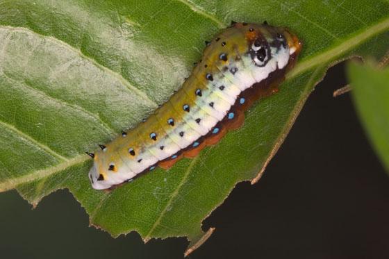 Three-Tailed Swallowtail - Papilio pilumnus