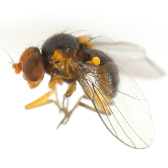 Liriomyza phloxiphaga - male