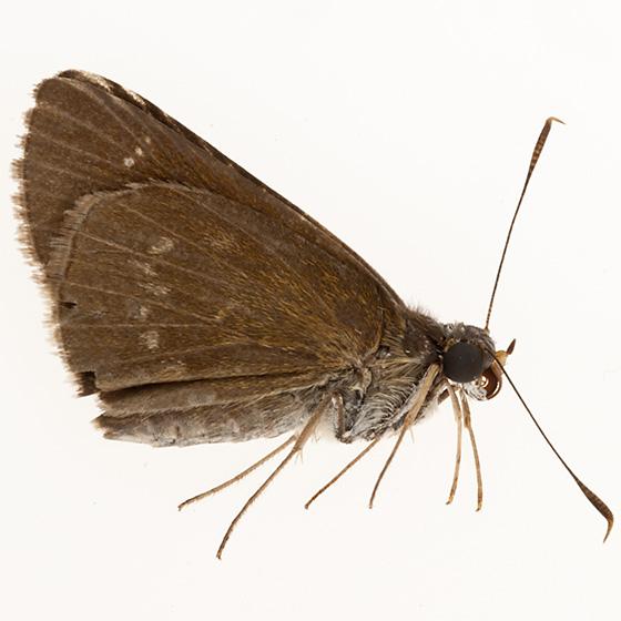 Lil moth - Cymaenes tripunctus