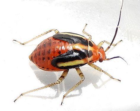 Pennsylvania Beetle for ID - Poecilocapsus lineatus