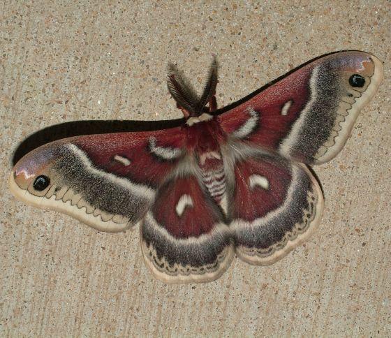 Beautiful Columbia Silk Moth! - Hyalophora columbia