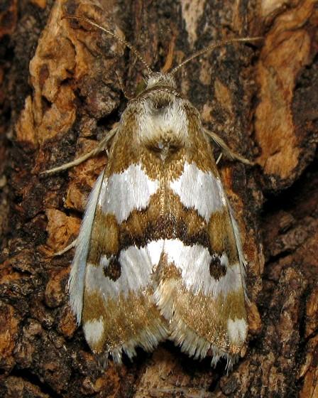 Schinia alencis - Hodges #11198 - Schinia alencis