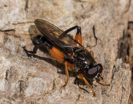flower fly – Chalcosyrphus plesia? - Chalcosyrphus plesia