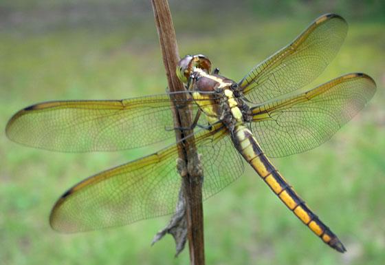 16th Dragon of the Season - Libellula flavida - male