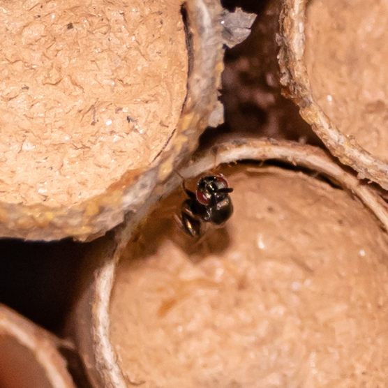 Parasitoid of Leucospis affinis? - female