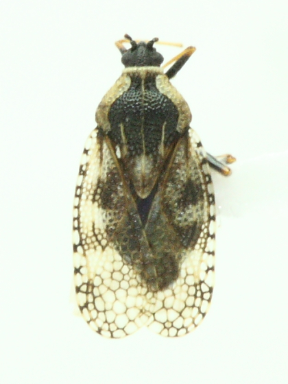 Lace Bug - Dictyla echii