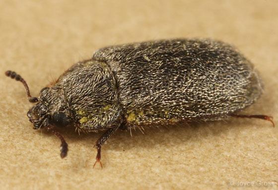 ceanothus beetle - Eronyxa