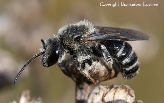 Bee - Lasioglossum leucozonium - male