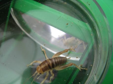 cricket at beach - Rhachocnemis validus - female