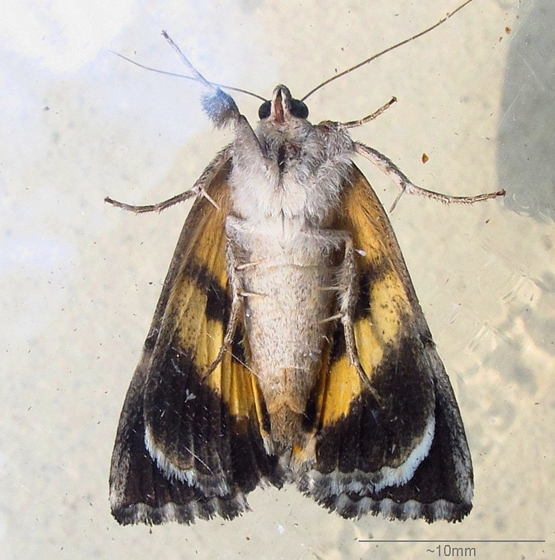Hodges #8873 - Similar Underwing - Catocala similis