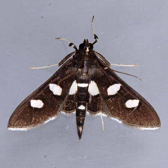 5160  Grape Leafroller  - Desmia maculalis