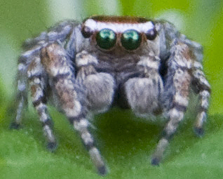 Which jumping spider, please? - Evarcha