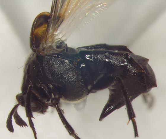 Ripiphoridae, lateral X - Ripiphorus fasciatus-complex - female