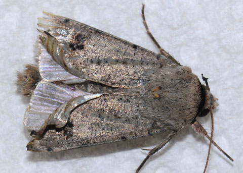 Moth with curled wings - Anicla