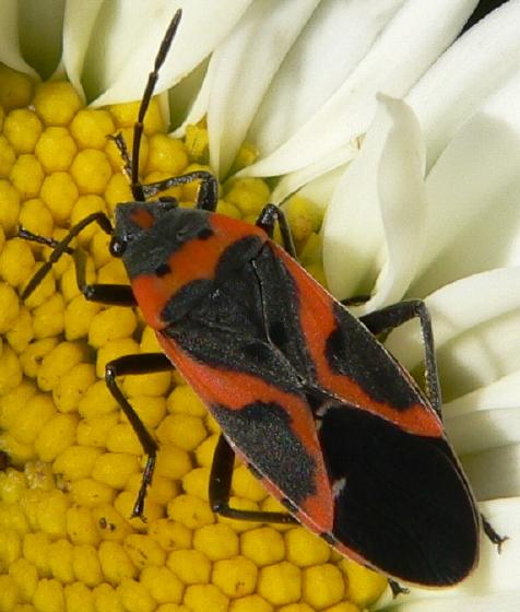 Small Milkweed Bug (Lygaeus kalmii) - Lygaeus kalmii