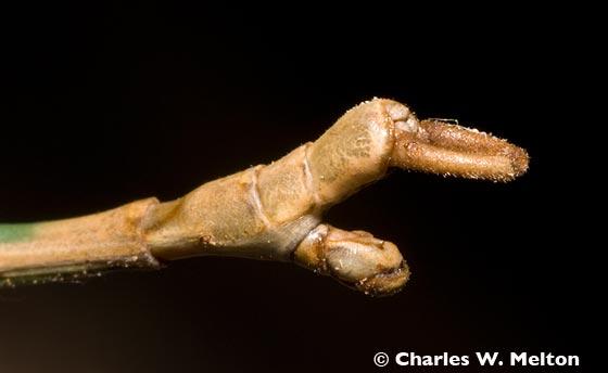 Walkingstick tip of male abdomen. - Diapheromera arizonensis - male