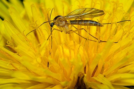 Mosquito - Gnoriste