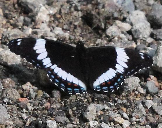 White Admiral - MN May - Limenitis arthemis