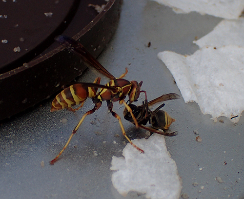 Brachygastra mellifica at northern edge of range attacked by Polistes  - Brachygastra mellifica