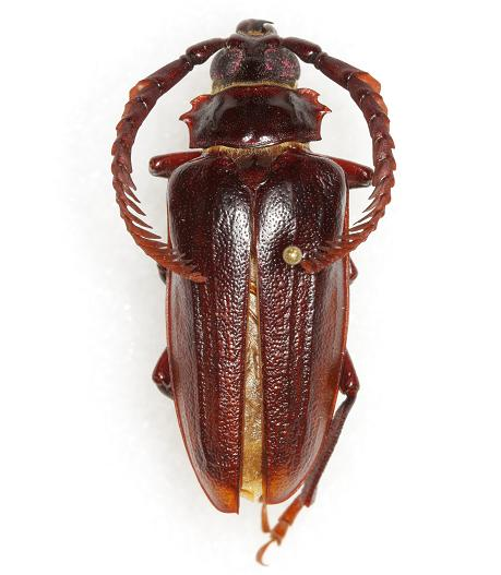 Prionus imbricornis  (Linnaeus) - Prionus imbricornis - male