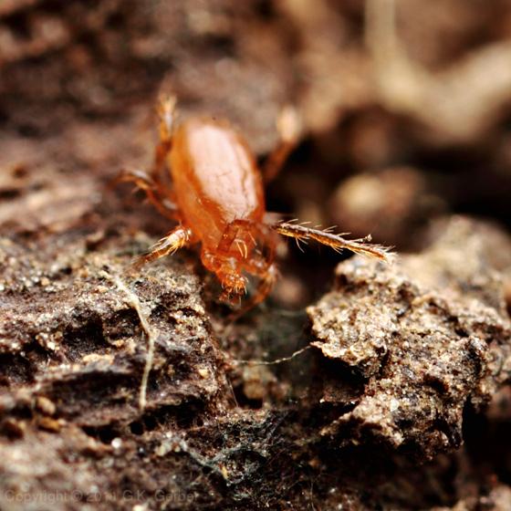 Large Mite