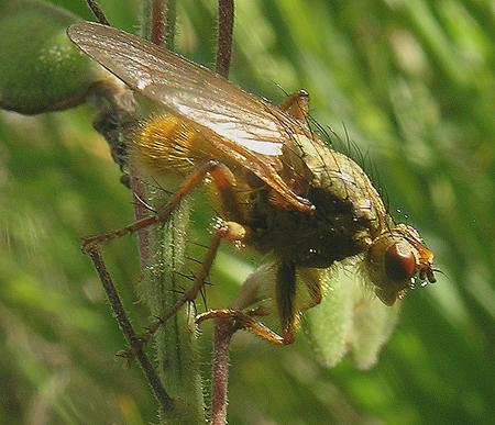 Dung Fly - Scathophaga stercoraria