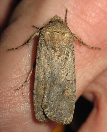 Moth - Noctuidae? - Peridroma saucia