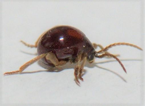 Smooth Spider Beetle - Gibbium aequinoctiale