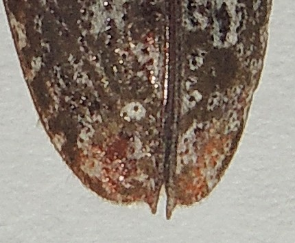 carolinensis or titillator? - Monochamus titillator
