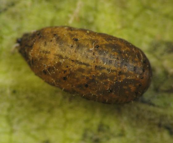 Aphid eater on milkweed. Puparium - Eupeodes