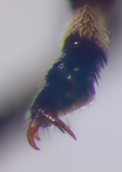 Anthribidae, left mid claw - Euparius marmoreus