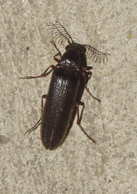 Click Beetle:  Euthysanius species - Euthysanius - male