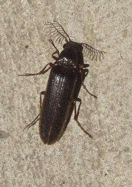 Click Beetle:  Euthysanius species - Euthysanius - male