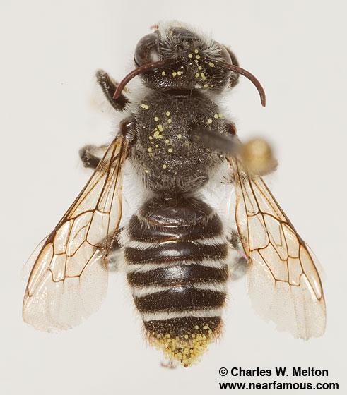 Lithurgopsis sp.? - Lithurgopsis - male
