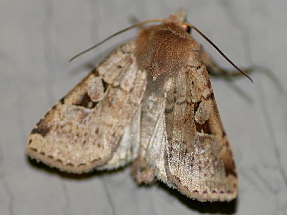 Dart Moth - Diarsia esurialis
