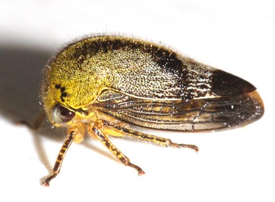 Treehopper - Carynota mera