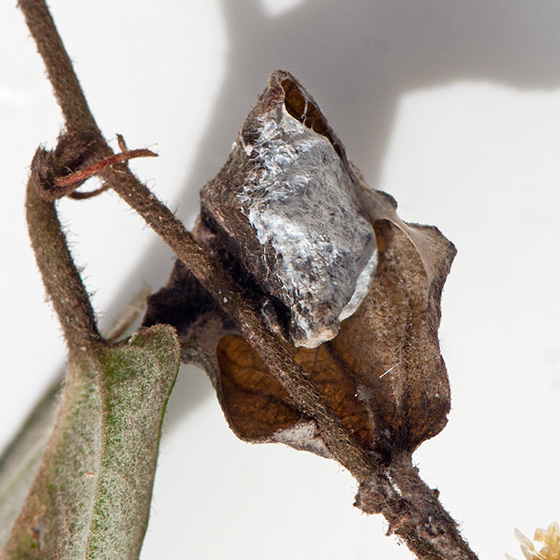 Moth cocoon?