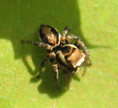 Unidentified Jumping Spider - Evarcha hoyi - male